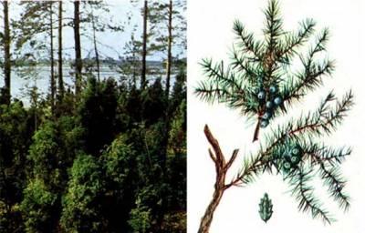 зодиак - Магические свойства деревьев. Магия деревьев. Деревья в магии. Dddddu10