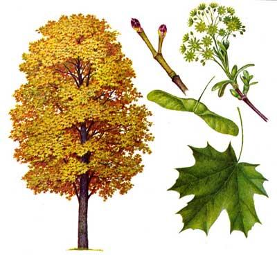 зодиак - Магические свойства деревьев. Магия деревьев. Деревья в магии. Dddud10