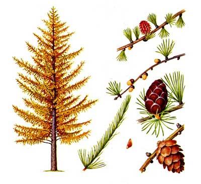 зодиак - Магические свойства деревьев. Магия деревьев. Деревья в магии. Ddnndd14