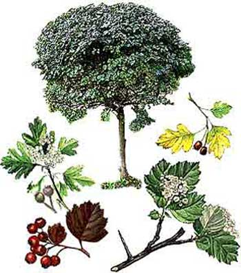зодиак - Магические свойства деревьев. Магия деревьев. Деревья в магии. Ddnnnn10