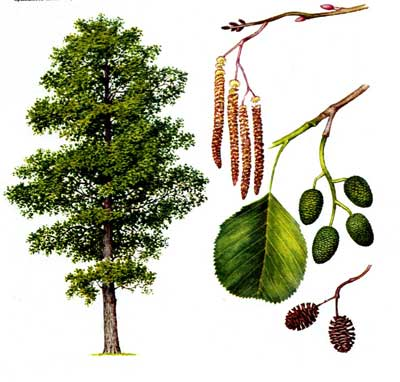 зодиак - Магические свойства деревьев. Магия деревьев. Деревья в магии. Ddnond10