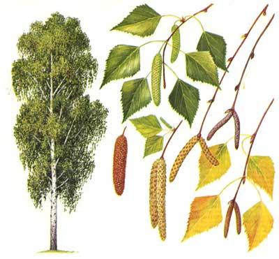 зодиак - Магические свойства деревьев. Магия деревьев. Деревья в магии. Ddundu10