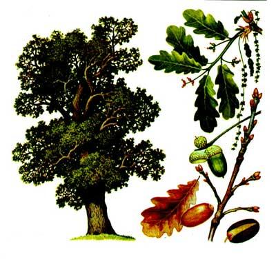 зодиак - Магические свойства деревьев. Магия деревьев. Деревья в магии. Dnd10