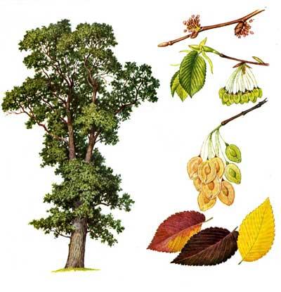 зодиак - Магические свойства деревьев. Магия деревьев. Деревья в магии. Dnd11
