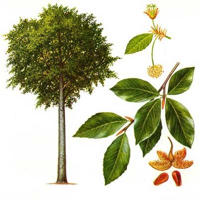 зодиак - Магические свойства деревьев. Магия деревьев. Деревья в магии. Dnd12