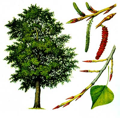 зодиак - Магические свойства деревьев. Магия деревьев. Деревья в магии. Nddddn11