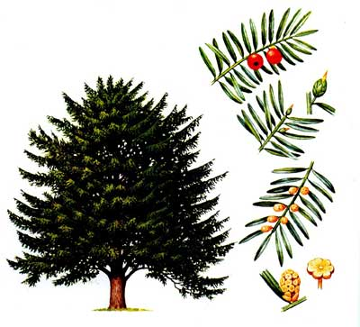 зодиак - Магические свойства деревьев. Магия деревьев. Деревья в магии. Ndn10