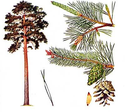 зодиак - Магические свойства деревьев. Магия деревьев. Деревья в магии. Ndndd10