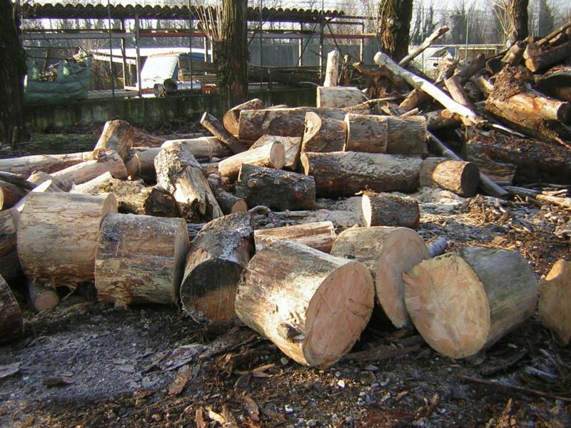 Taglio tronchi a terra di grosso diametro Dscn1128