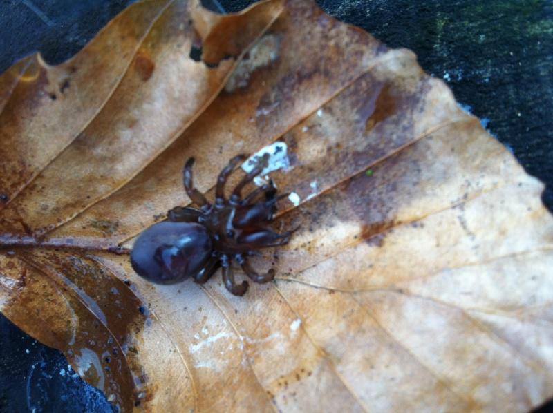 identification araignée impressionnante Img_0611