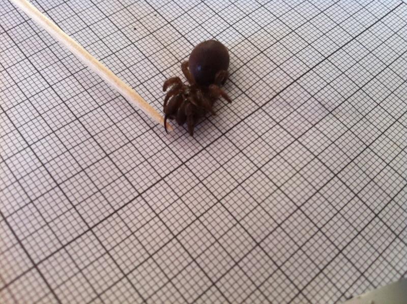 identification araignée impressionnante Img_0612