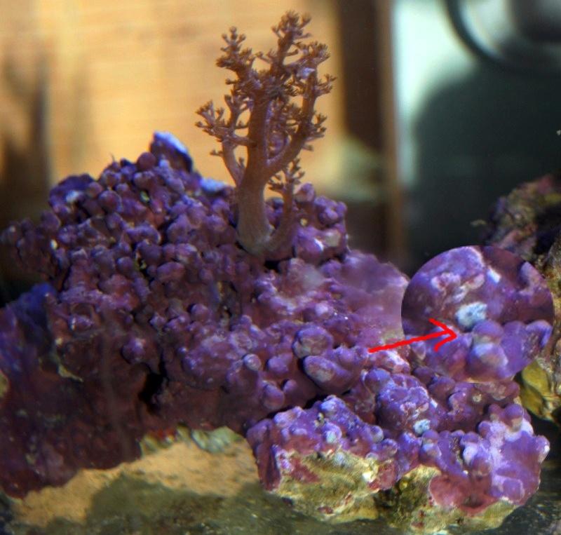 """Nano récifal 60L aquacubic d'aquatlantis """"Loveangel45"""" - Page 4 Bx7ahz10"""