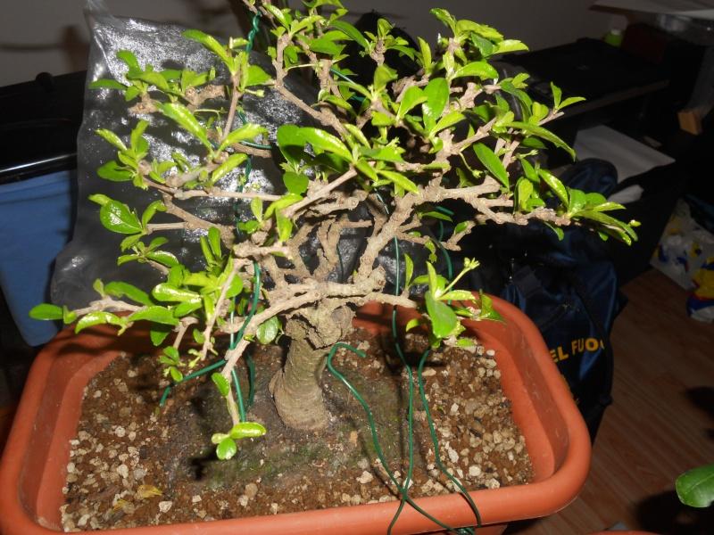 Come avete iniziato a fare bonsai? Dscn0610