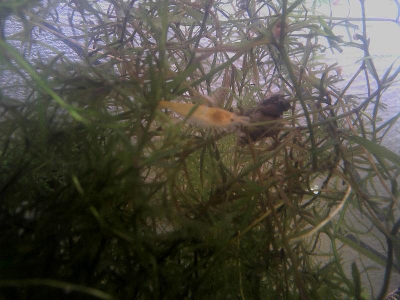 Quelle crevettes est-ce? Img_2010