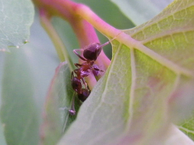 [Lasius emarginatus] Formica rufa ? Imgp0614