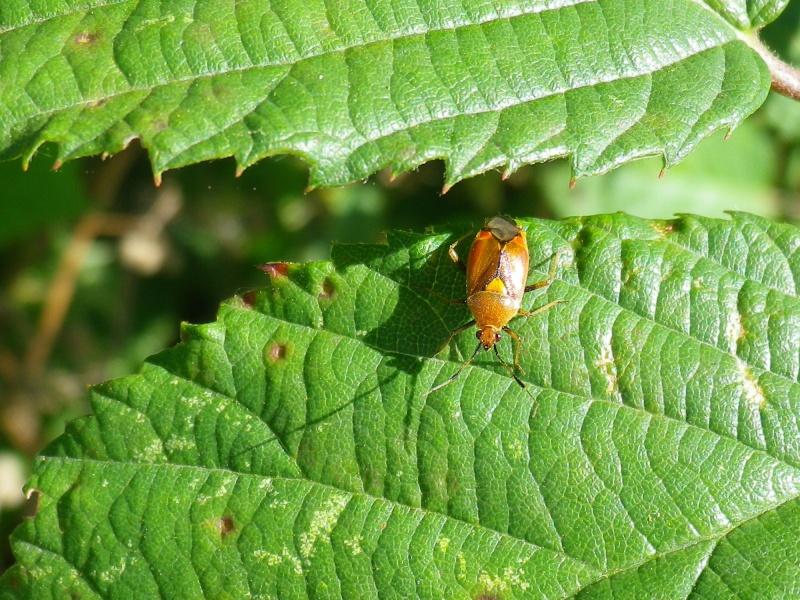 [Deraeocoris sp.] Punaise orange Imgp1322