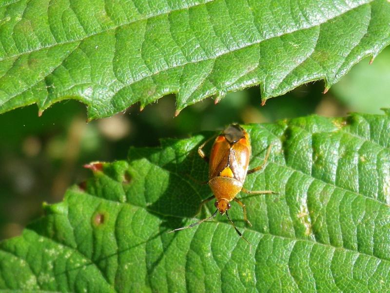 [Deraeocoris sp.] Punaise orange Imgp1328