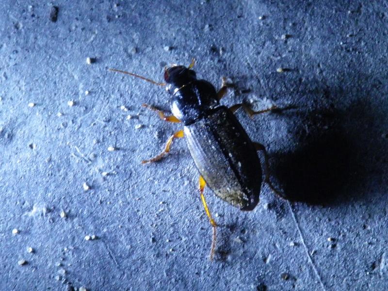[Pseudoophonus rufipes] Carabe nocturne Imgp2212
