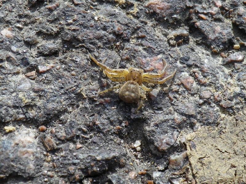 [Xysticus sp.] Une araignée crabe ? Thomis11