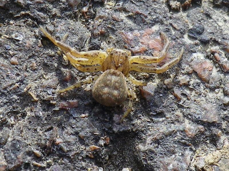 [Xysticus sp.] Une araignée crabe ? Thomis12