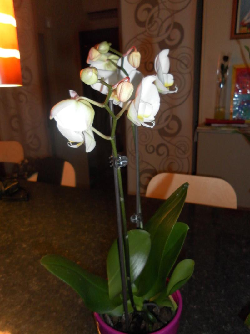 les orchidées de syljou Sam_5313