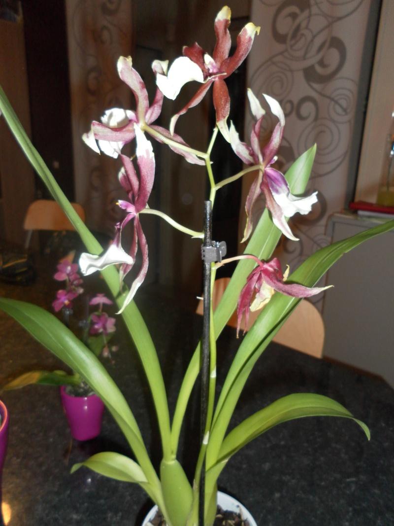 les orchidées de syljou Sam_5315