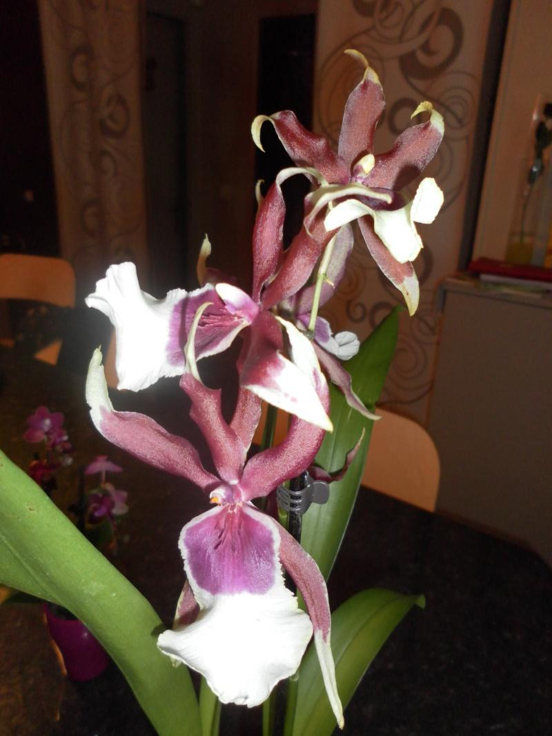 les orchidées de syljou Sam_5316