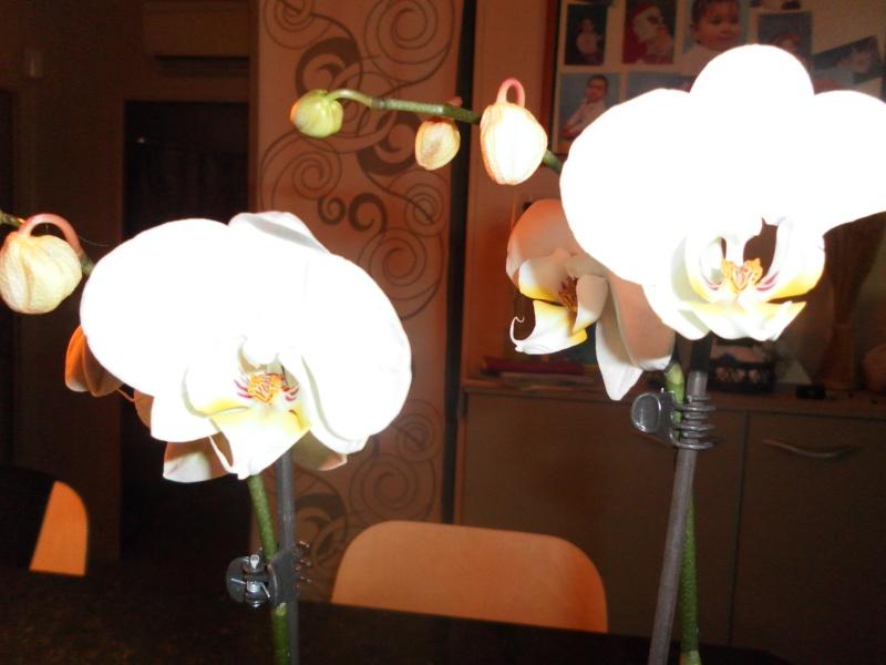 les orchidées de syljou Sam_5318