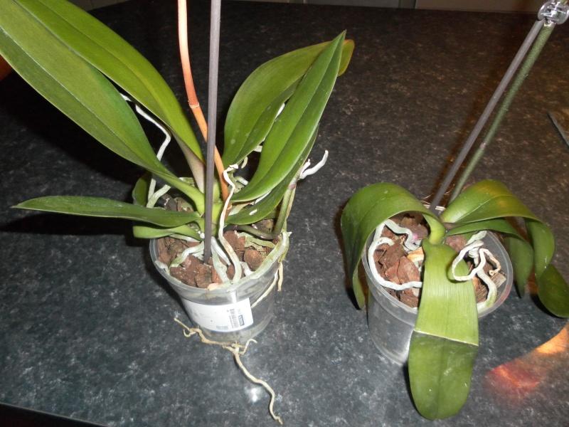 les orchidées de syljou Sam_7911