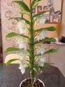 les orchidées de syljou Sam_5321