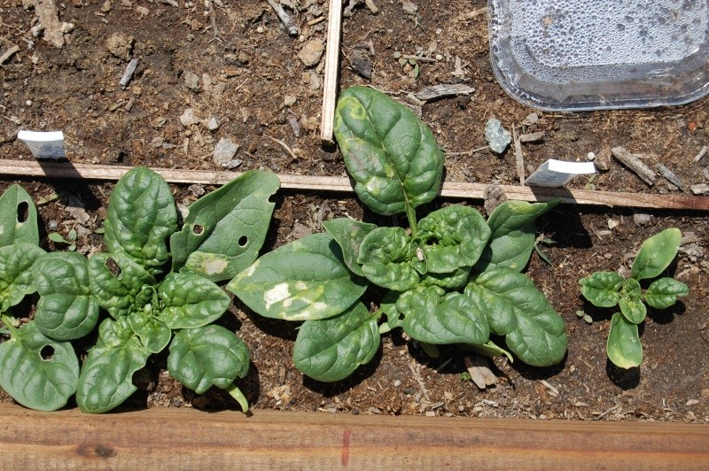 What's Wrong With My Spinach? 17_wha10