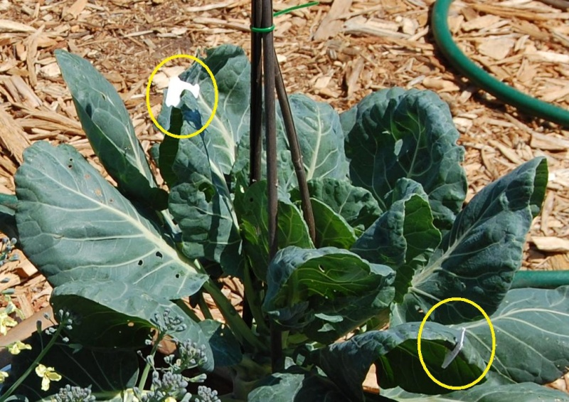 trying to avoid hornworms, cabbage worms and squash bugs 17_whi10
