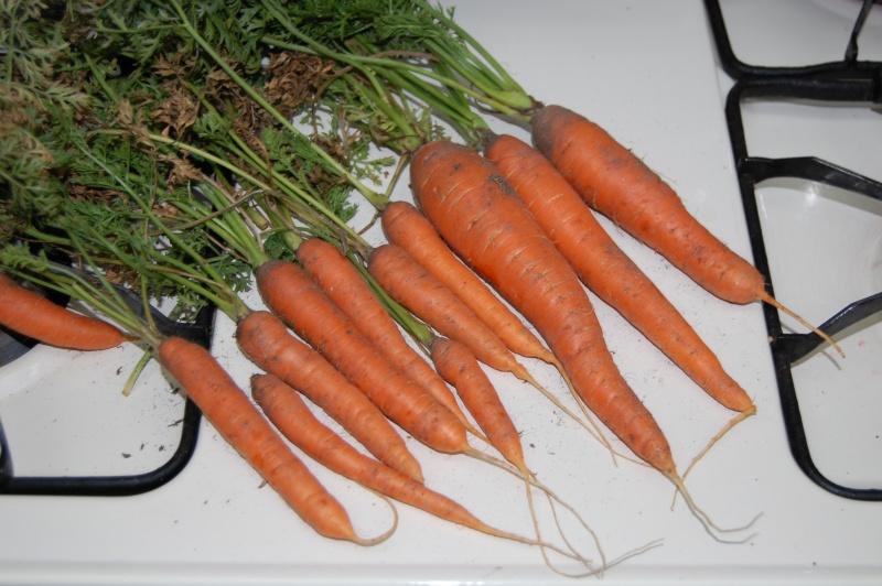 Carrot Week 2012! - Page 14 Scarle10