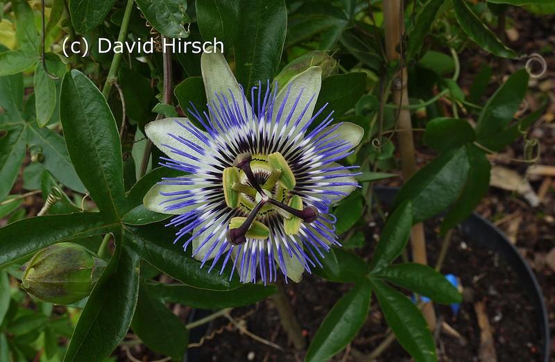"""Passiflora - Passionsblume - kleine """"Juwelen"""" - alles über Aussaat, Pflege, Vermehrung und natürlich Blütenbilder :) 74219310"""