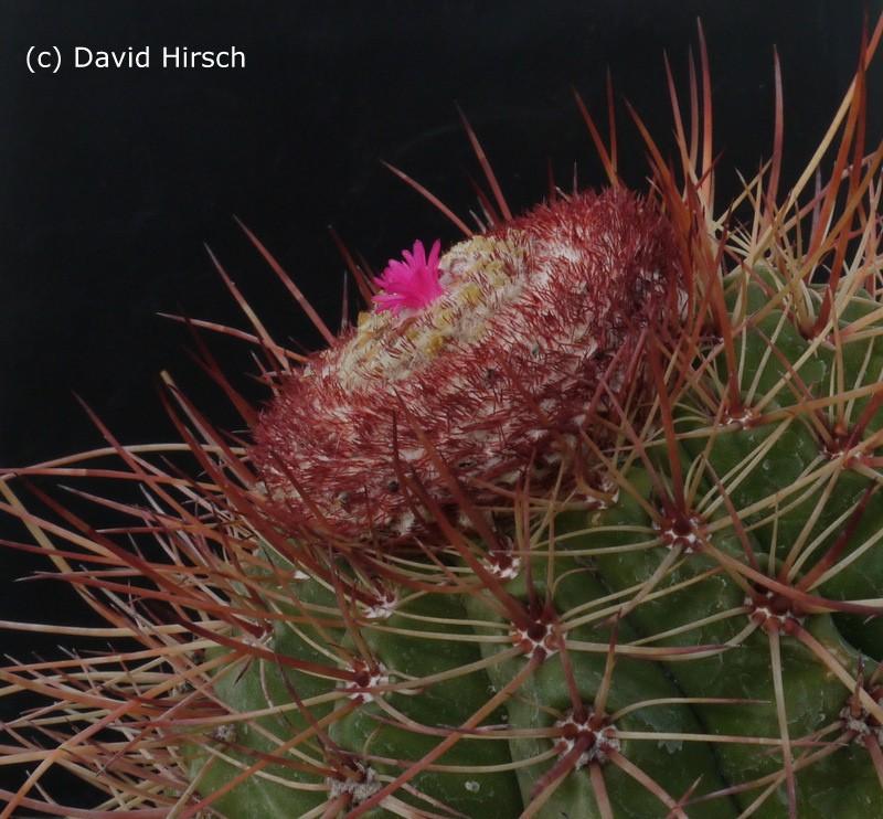 Melocactus longispinus 75453010
