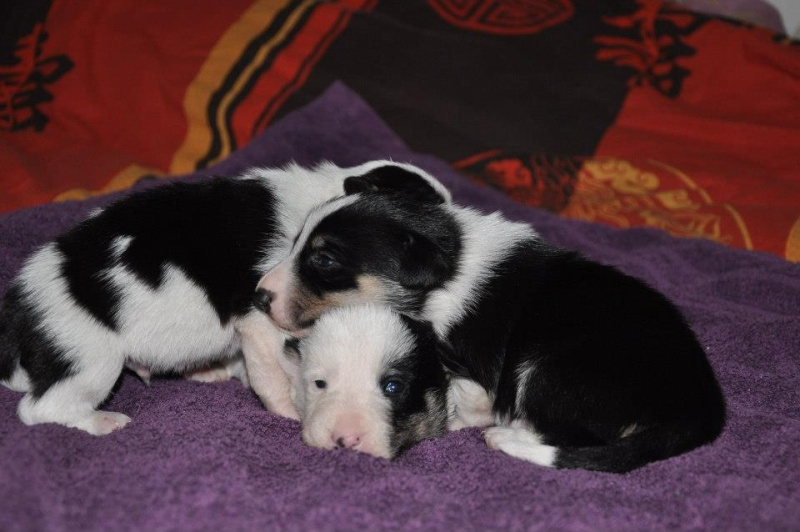 taille - Taille poils Border collie ? 59852210