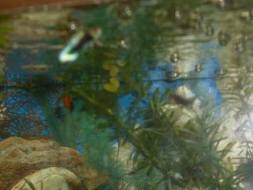 Mon aquarium d'eau douce Sdc14818