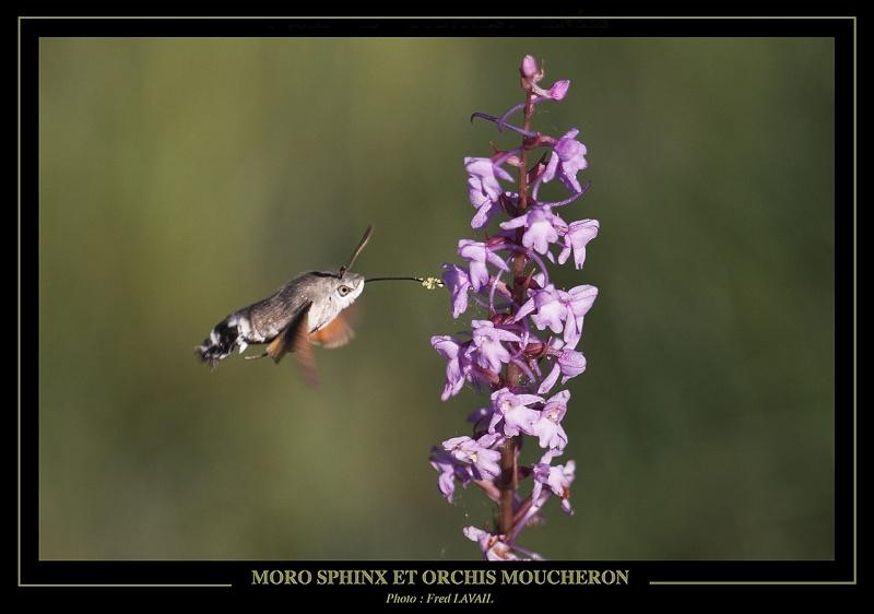 MORO SPHINX ET CONOPSEA Moro_s10