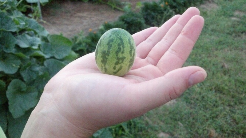 What the heck is this? Can watermelons and cukes cross? Myster13
