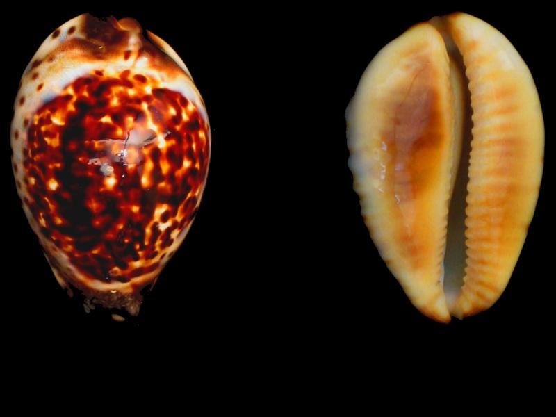 Zoila eludens - L. Raybaudi, 1991 Img_5112