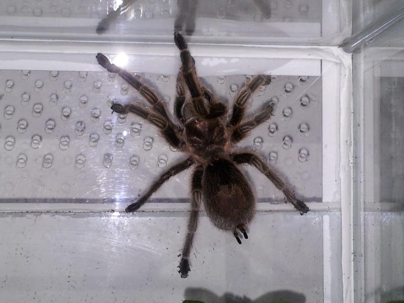 Ma Rosea femelle 20120710