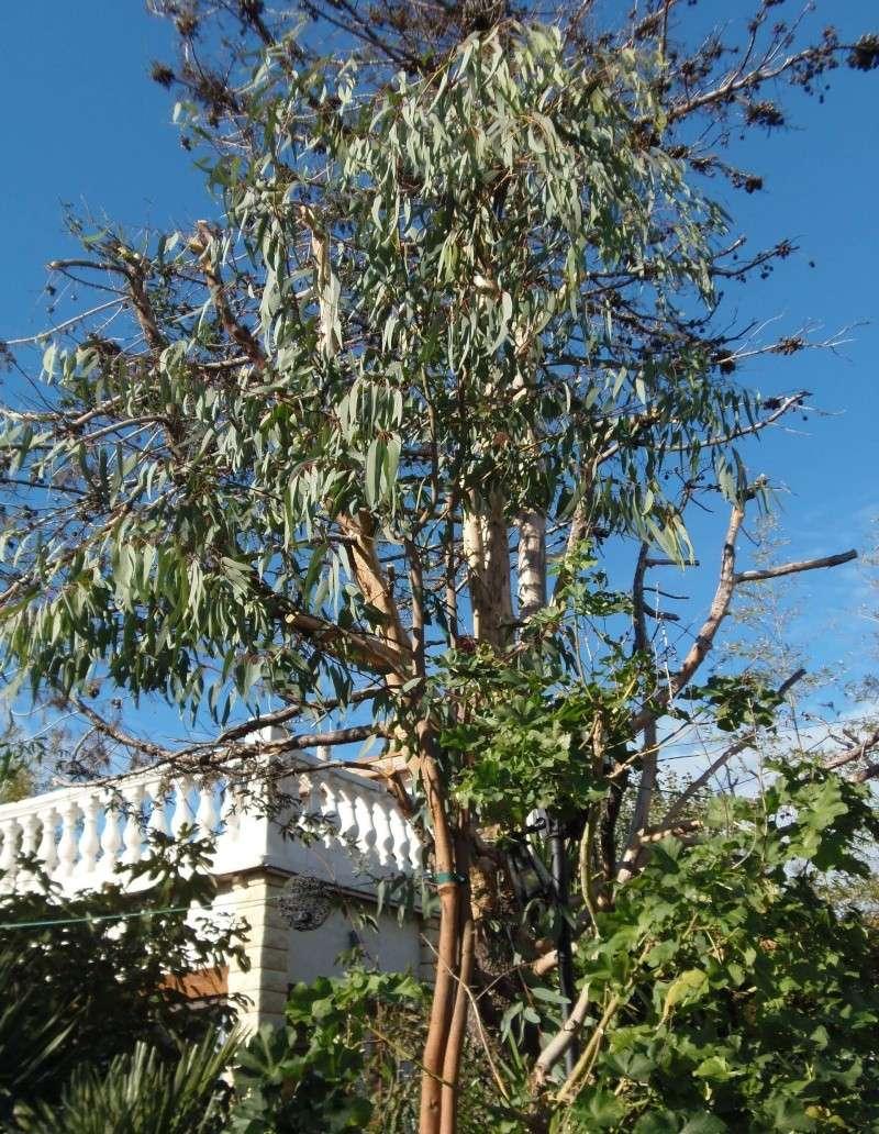 Eucalyptus  - Page 2 Pb110010
