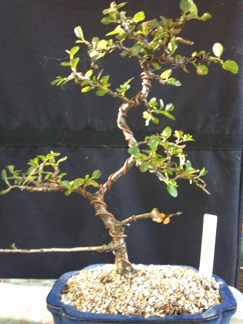 Sick Cotoneaster Cotone11