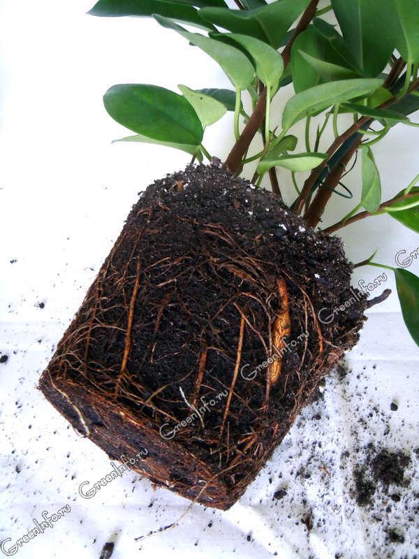 Пересадка комнатных растений T_542111