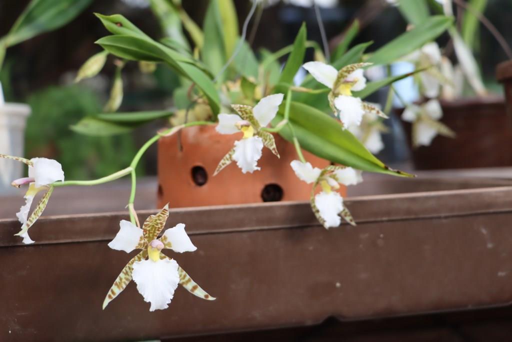 Lemboglossum rossii - Seite 2 Lemboc15