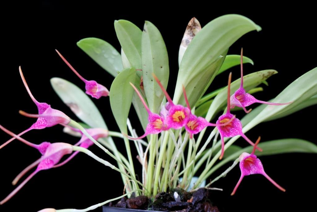 Masdevallia glandulosa Masdev13