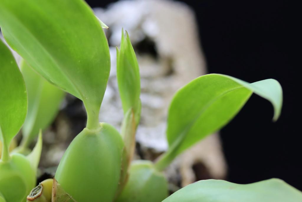 Lemboglossum cervantesii - Seite 2 Odotog10