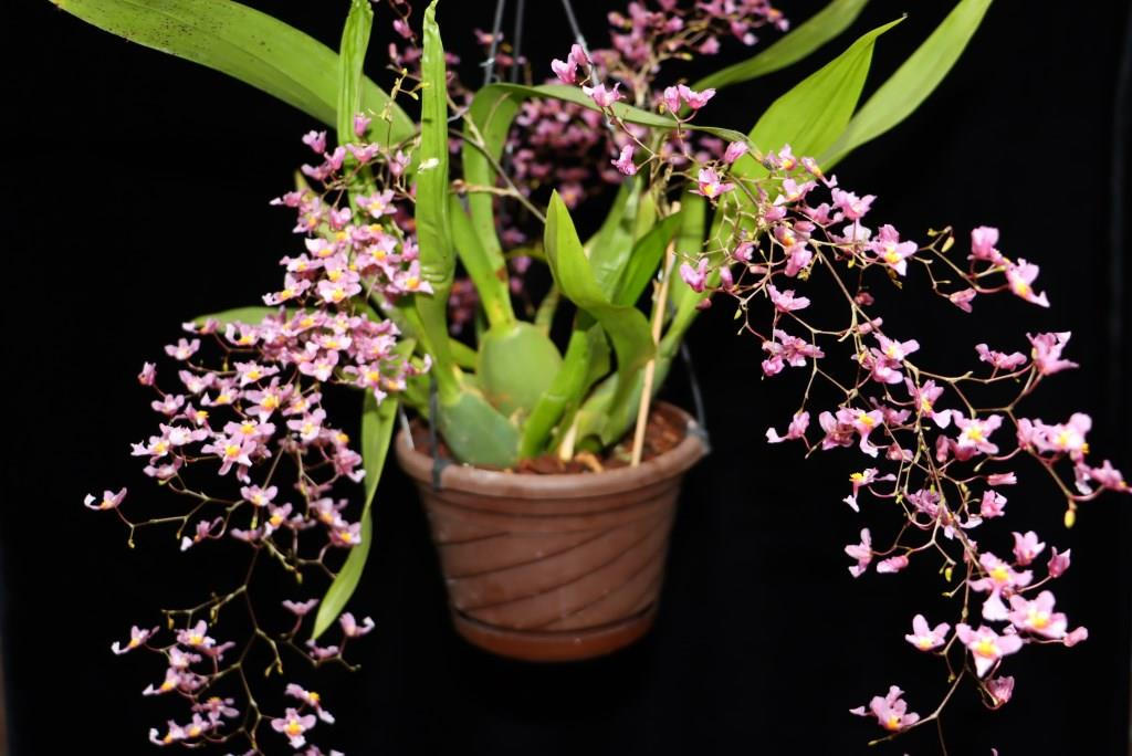 Oncidium sotoanum (syn. Onc.  ornithorhynchum hort.) Oncidi23