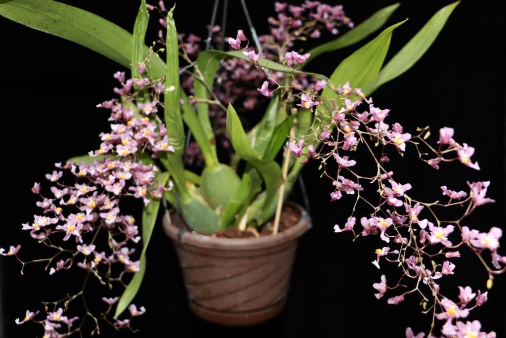 Oncidium sotoanum (syn. Onc.  ornithorhynchum hort.) Oncidi24