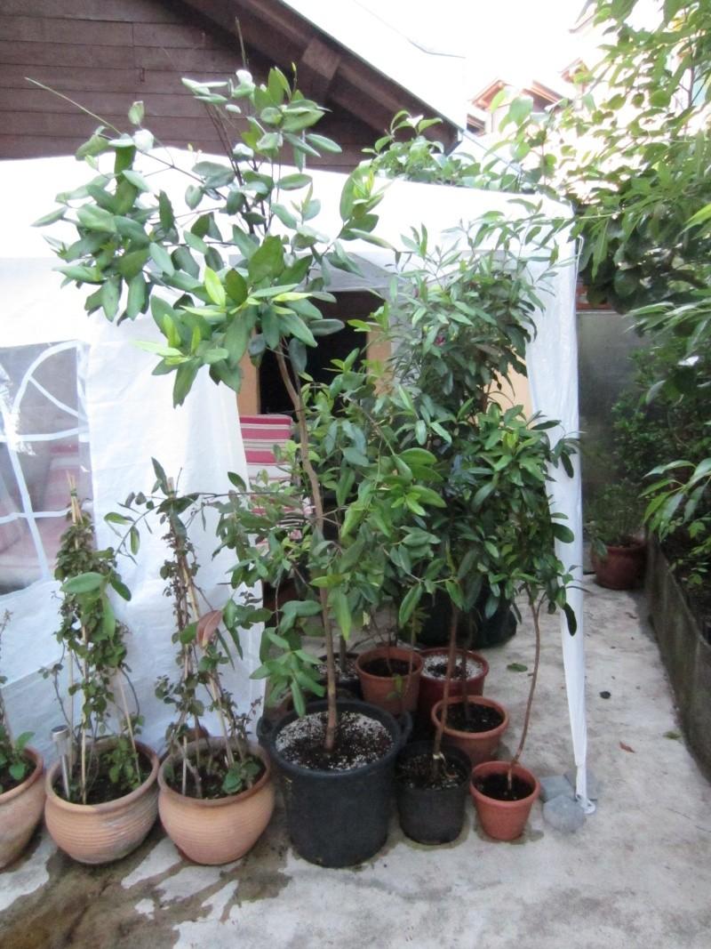 Pimenta racemosa Img_1810
